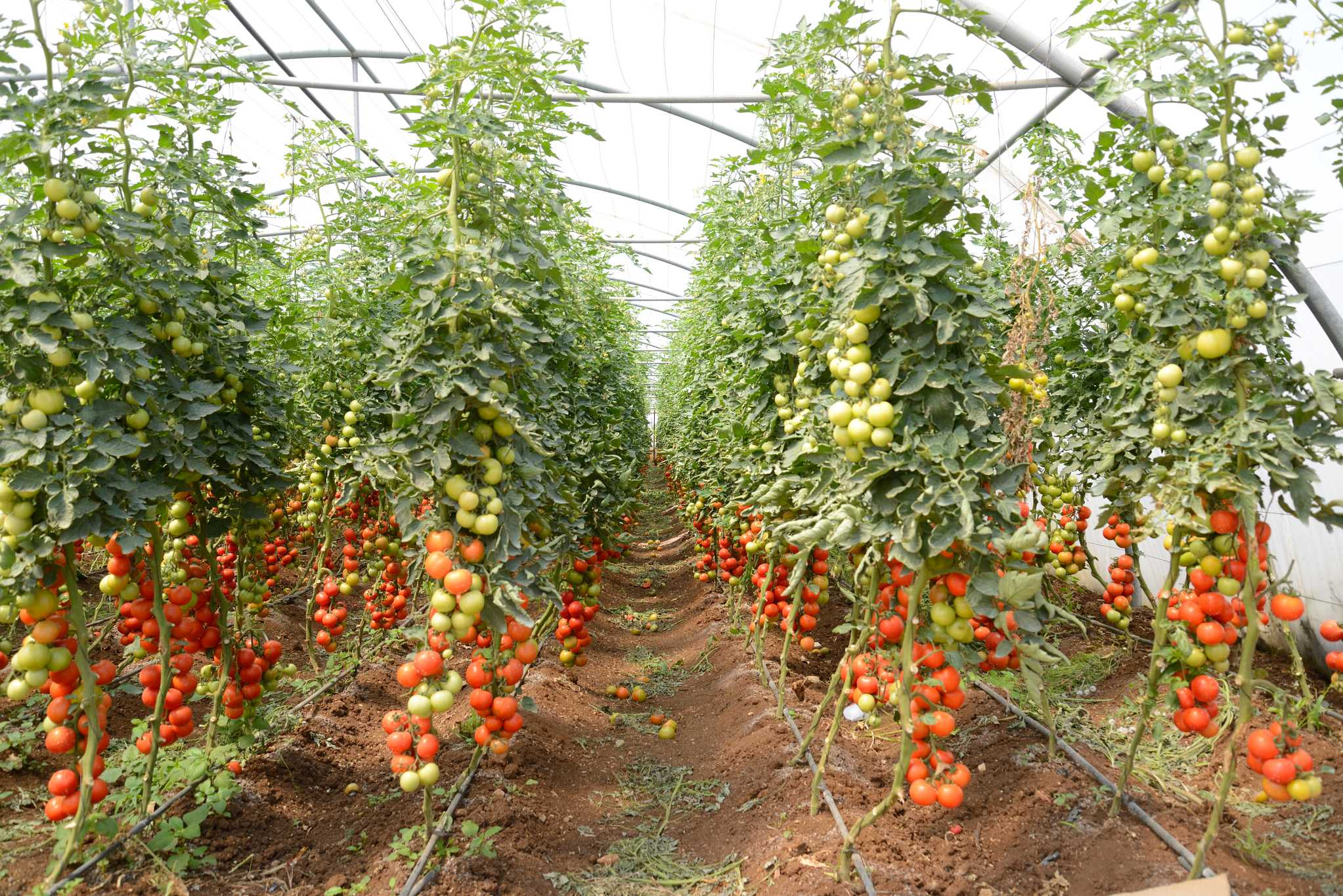 Akkar Tomato Production